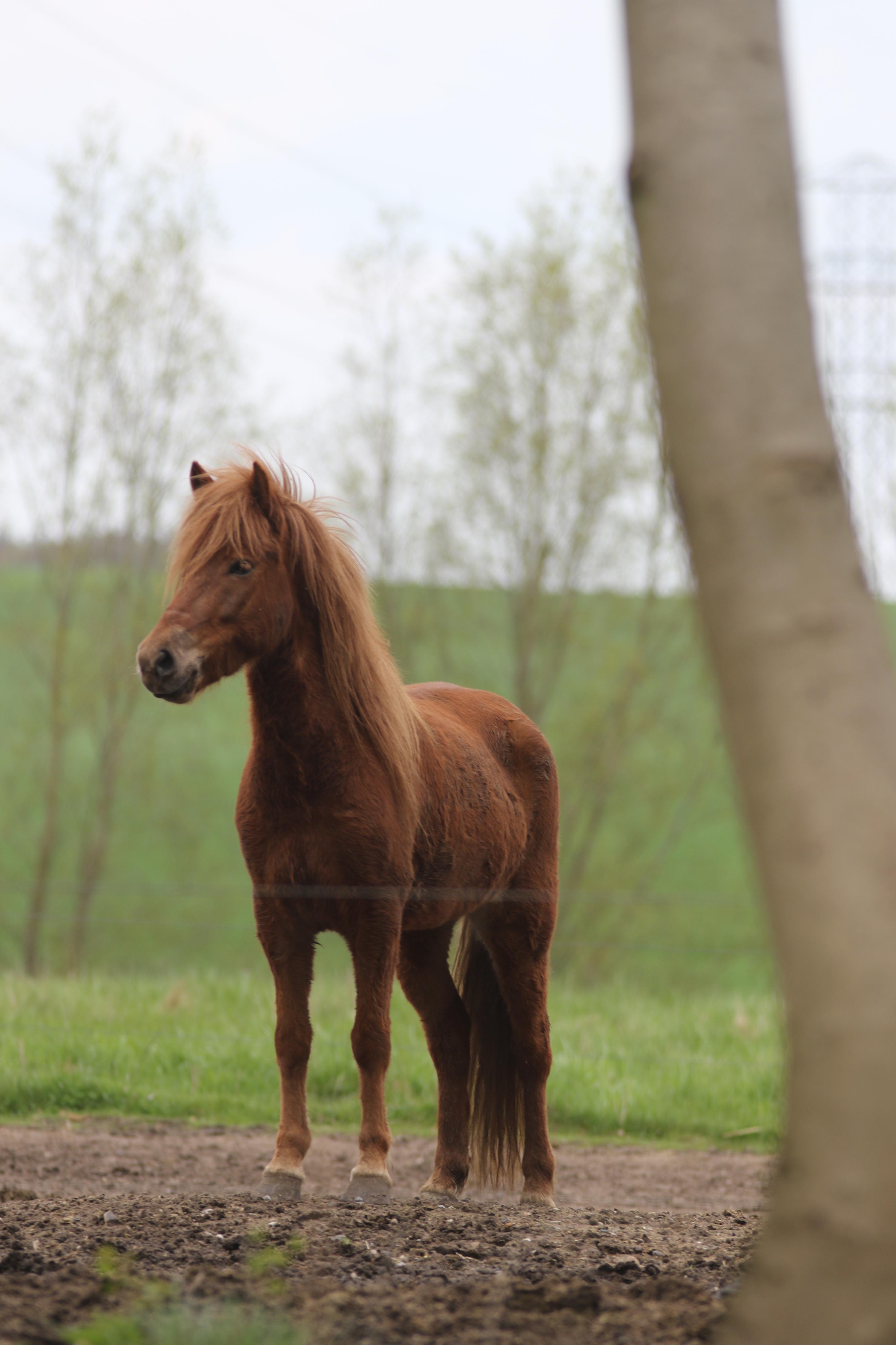 hest til salg