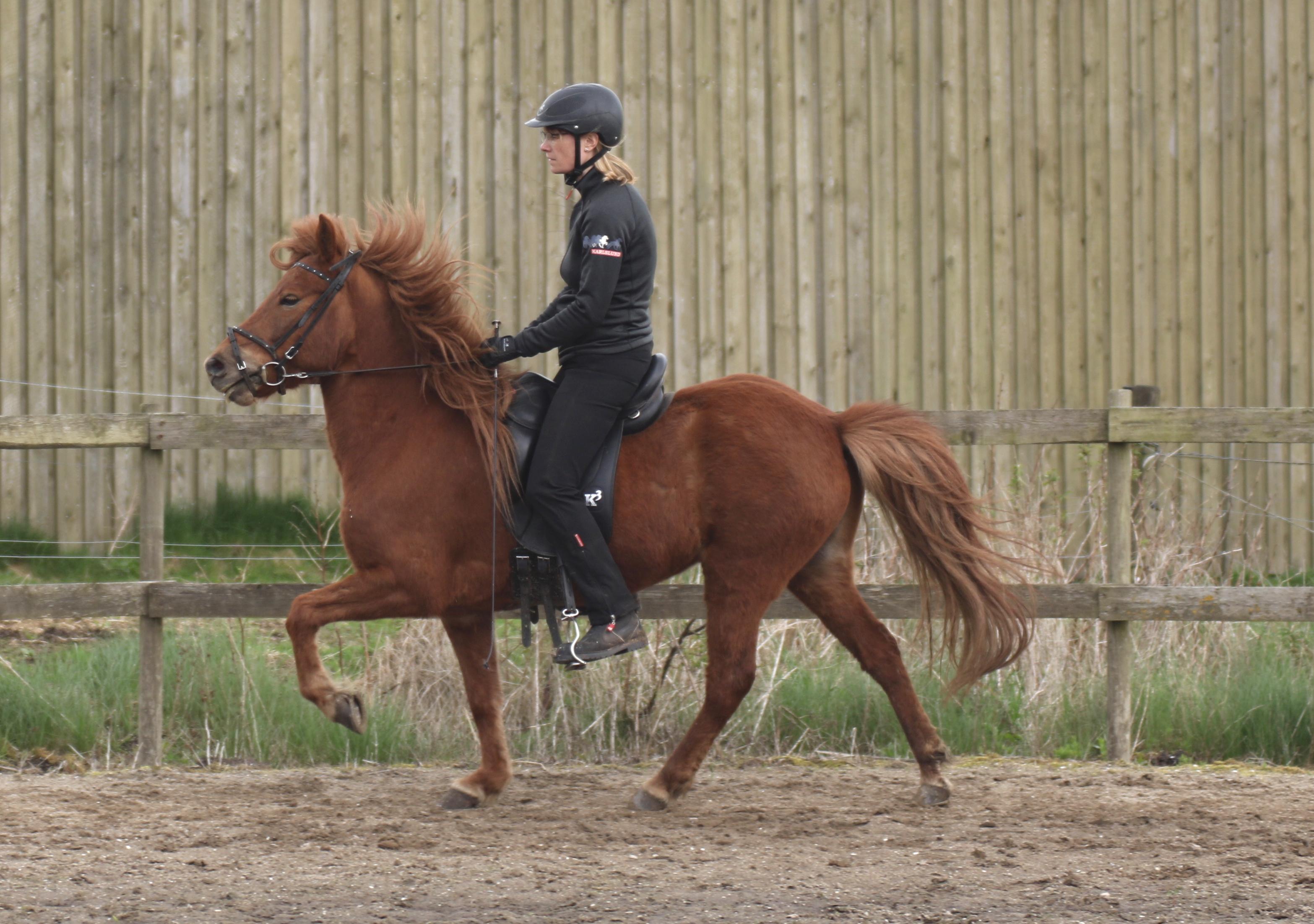 islandske heste gangarter